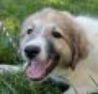 Wagner Great Pyrenees - Anatolian Shepherd Dog