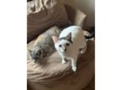 Adopt Stardust & Lilo a Tan or Fawn Tabby American Shorthair cat in Upland