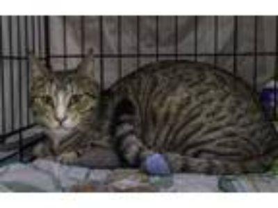 Adopt Buzz a Brown Tabby Domestic Mediumhair / Mixed (medium coat) cat in Davis