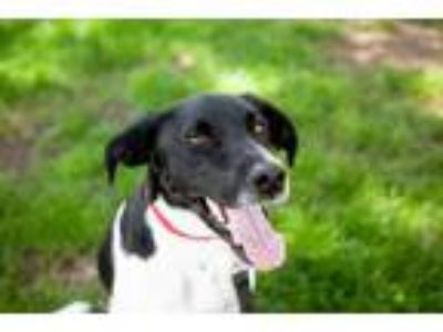 Adopt Olaf a Pointer, Labrador Retriever