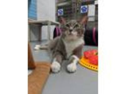 Adopt Moana a Domestic Short Hair