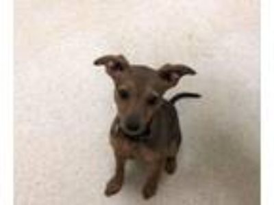 Adopt Star a Miniature Pinscher