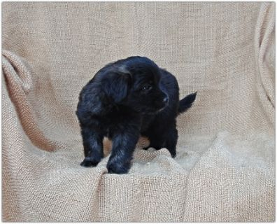 Pom-A-Poo-Border Collie Mix PUPPY FOR SALE ADN-88239 - Adorable Border Collie Mix Puppies