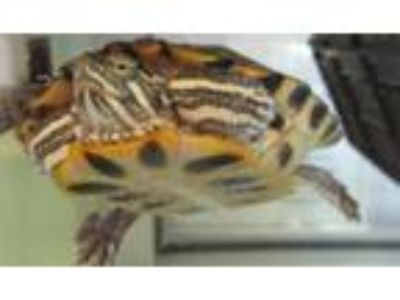 Adopt Baz a Turtle