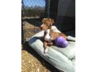 Adopt Red a Red/Golden/Orange/Chestnut Pit Bull Terrier dog in Dickson