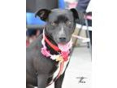 Adopt Thea a Black - with White Labrador Retriever / Mixed dog in Montgomery