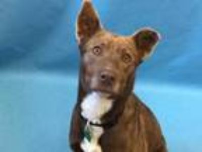 Adopt Dove a Brown/Chocolate Labrador Retriever / Mixed dog in Golden Valley