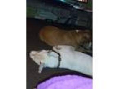 Adopt Patches a White Dalmatian / Labrador Retriever dog in Greenville