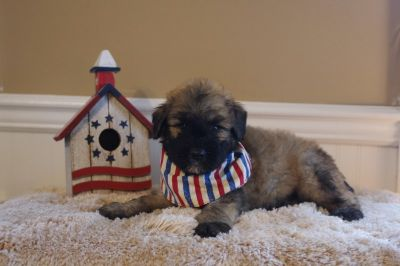 Bouvier Des Flandres PUPPY FOR SALE ADN-91426 - Levi Fawn male in Lewisburg PA