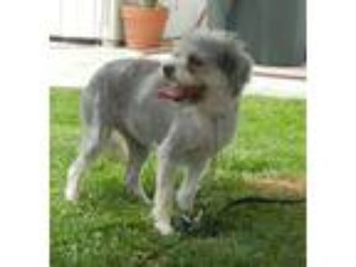 Adopt Cupcake a Poodle, Cairn Terrier