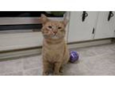 Adopt Oscar a Orange or Red Tabby Domestic Shorthair / Mixed cat in Anderson