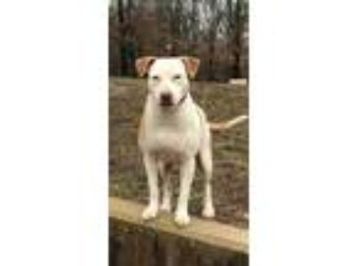 Adopt Jayne a White American Pit Bull Terrier / Mixed dog in Morton Grove