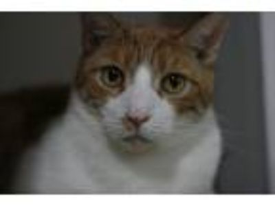 Adopt Mickey a Orange or Red Domestic Shorthair (short coat) cat in Canoga Park