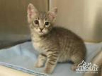 Adopt SOL a Gray, Blue or Silver Tabby Domestic Shorthair / Mixed (short coat)