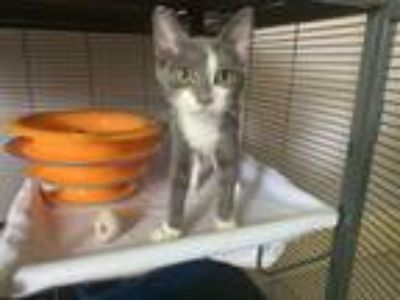 Adopt Flopsey a Domestic Short Hair