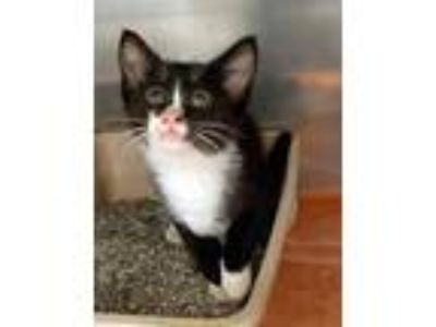 Adopt Miles a All Black Domestic Shorthair / Domestic Shorthair / Mixed cat in