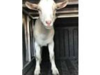 Adopt BAXLEY a Goat / Mixed farm-type animal in Panama City, FL (25299597)