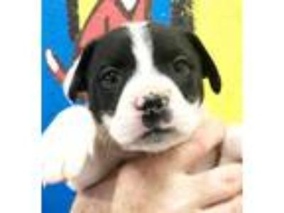 Adopt Baby Border Collies - Beauty a Border Collie, Australian Shepherd