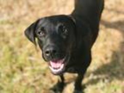 Adopt Billy Ray a Black Labrador Retriever / Mixed dog in Lebanon, TN (25578923)