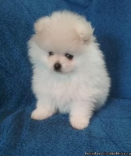 Sweetest best male and female pomeranian puppies for adoption please contact via text or call for more details (530)-436