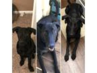 Adopt Murphy a Black Labrador Retriever / Afghan Hound / Mixed dog in