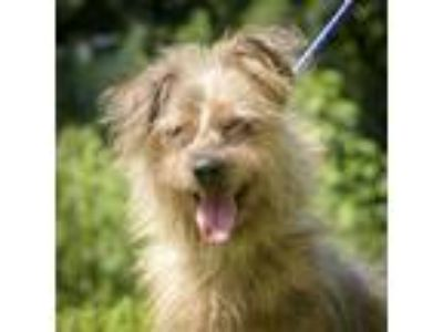 Adopt Loughlin a Wirehaired Terrier