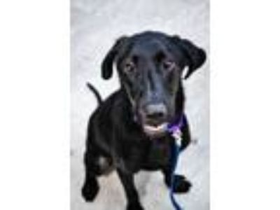 Adopt Natasha a Black Labrador Retriever / Mixed dog in Rockville, MD (25935514)