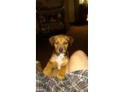 Adopt Sissy a Brown/Chocolate - with Black Boxer dog in Keithville