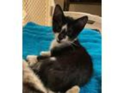 Adopt Little Man a Domestic Shorthair / Mixed (short coat) cat in Hoover