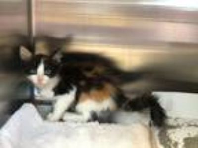 Adopt Sherbert a Calico or Dilute Calico Calico (short coat) cat in Salisbury