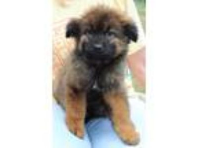 Adopt Regina 30795 a Black - with Brown, Red, Golden, Orange or Chestnut Chow