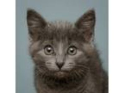 Adopt Darling Lilly a Domestic Short Hair
