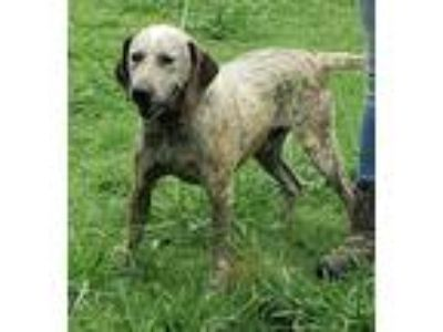 Adopt Toby a Tricolor (Tan/Brown & Black & White) German Shorthaired Pointer /