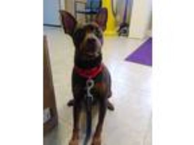Adopt Spencer a Brown/Chocolate - with Tan Miniature Pinscher / Mixed dog in