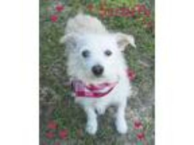 Adopt Scruffy a White Wirehaired Fox Terrier / Mixed dog in Seagoville