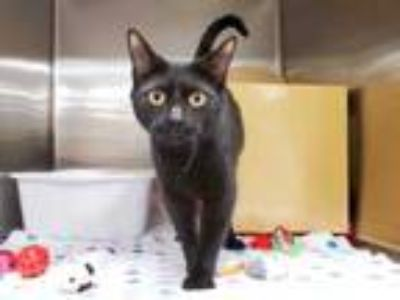 Adopt Lana Del Rey a All Black Domestic Shorthair / Domestic Shorthair / Mixed