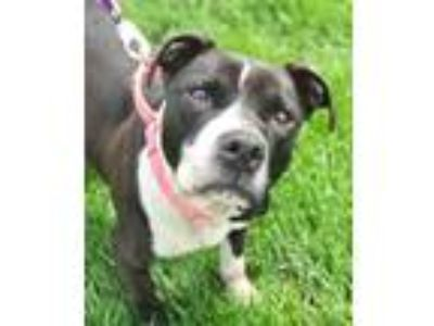Adopt Kadence a Black - with White American Pit Bull Terrier / Mixed dog in