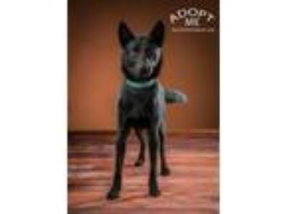 Adopt Midnight a German Shepherd Dog