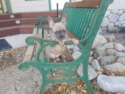 French Bulldog PUPPY FOR SALE ADN-96470 - AKC Blue Fawn French Bulldog