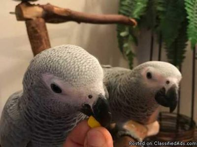Certified Vaccinate Dna Congo African Grey Parrots available