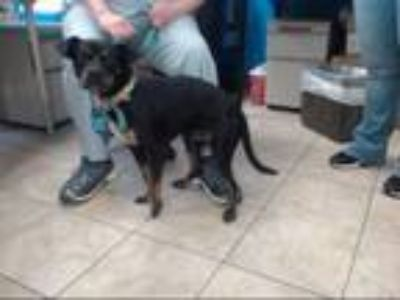 Adopt JACK a Rottweiler, Mixed Breed