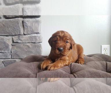 Irish Setter PUPPY FOR SALE ADN-129832 - AKC Irish Setter puppy