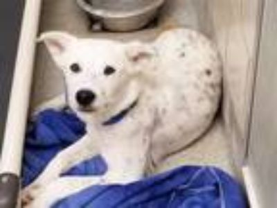 Adopt CONFETTI a White - with Black Australian Cattle Dog / Mixed dog in Grand