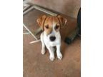 Adopt Alan a Beagle / Terrier (Unknown Type, Medium) / Mixed dog in Tampa