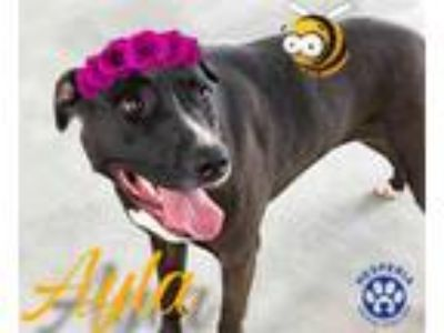 Adopt AYLA a Black - with White American Pit Bull Terrier / Mixed dog in