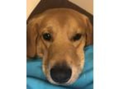Adopt Brady a Tan/Yellow/Fawn Labrador Retriever / Basset Hound / Mixed dog in