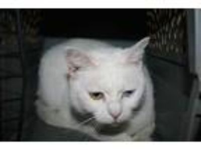 Adopt BLANCA a White Domestic Shorthair / Mixed (short coat) cat in Modesto