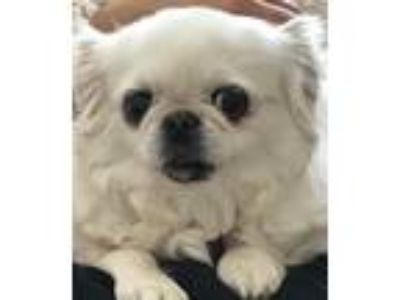 Adopt Annie a White Pekingese / Mixed dog in Simi Valley, CA (25181123)