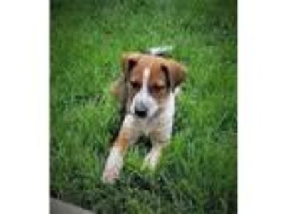 Adopt Mallard a Tan/Yellow/Fawn - with Black Border Collie / Cattle Dog / Mixed