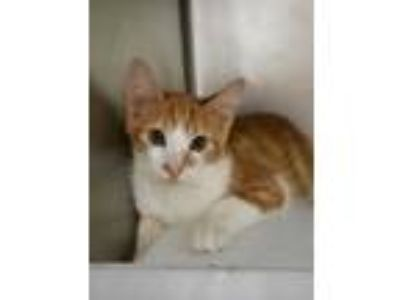 Adopt Cosmos a Orange or Red Domestic Shorthair / Domestic Shorthair / Mixed cat